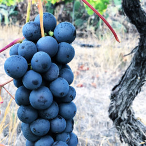 Resveratrol present in black grapes